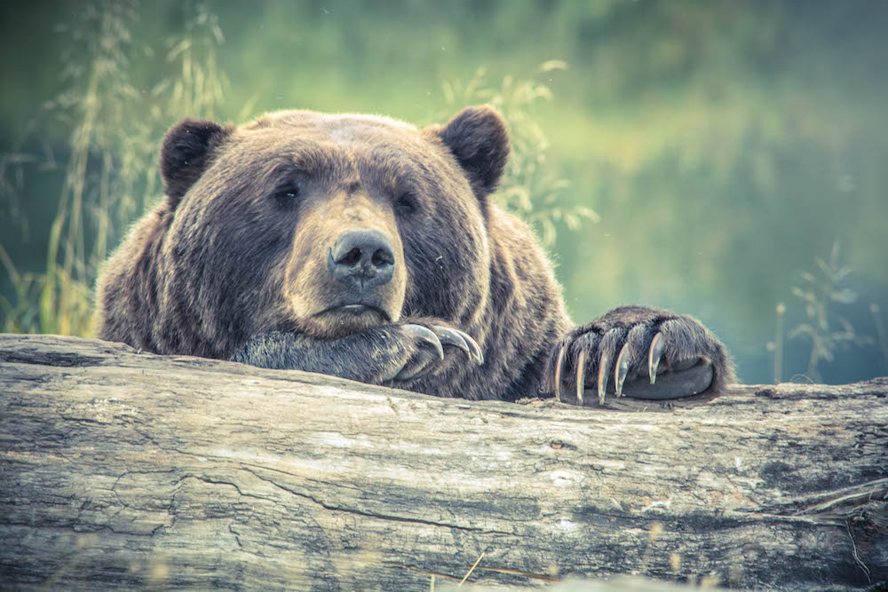 grizzly bear log sad face
