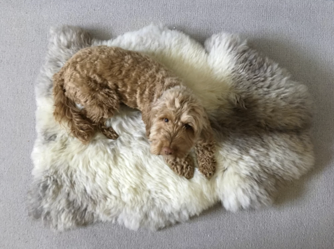 fluffy dog lying on a fluffy sheepskin rug