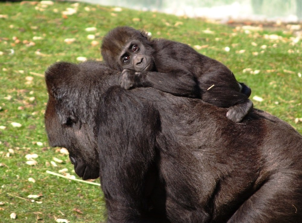 baby gorilla carried by mother