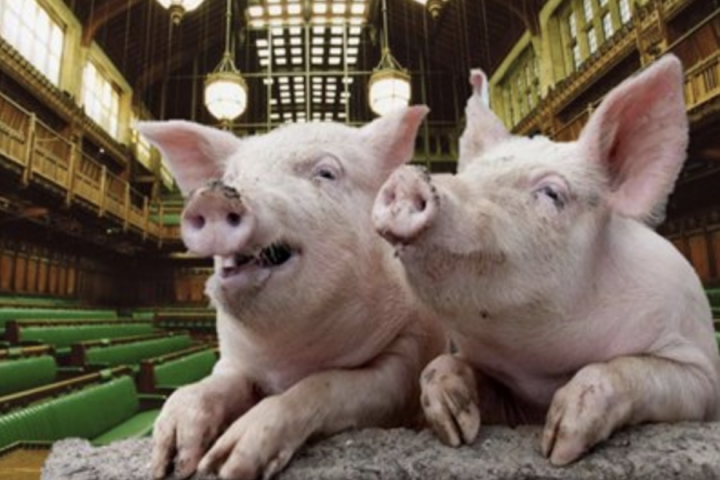 two pigs in theatre